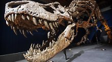 Donnerten mit einer Wucht von drei Kleinwagen auf die Beute nieder: die Zähne des T. rex.