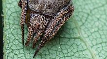 """Sieht aus, als hätte sie einen Hut auf - und zwar den Sprechenden Hut aus """"Harry Potter"""". Deswegen heißt diese Spinne jetzt Eriovixia gryffindori."""