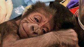 Dramatische Geburt: 17 Mediziner helfen Gorilla-Baby auf die Welt