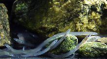 Tausende Kilometer lange Reise: Wie orientieren sich Baby-Aale?