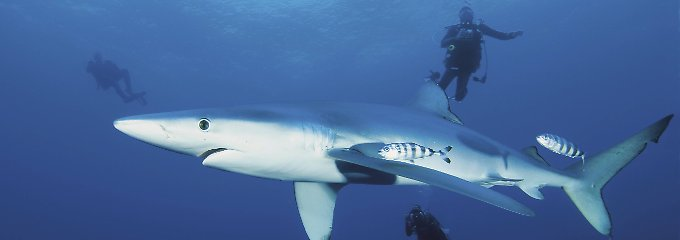 Es geschieht sehr, sehr selten, dass ein Blauhai einen Menschen mit Beute verwechselt.