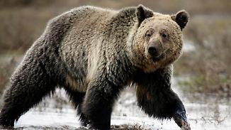 """Immer wieder Angriffe in Alaska: Mann überlebt Grizzly-Attacke dank """"Bären-Spray"""""""