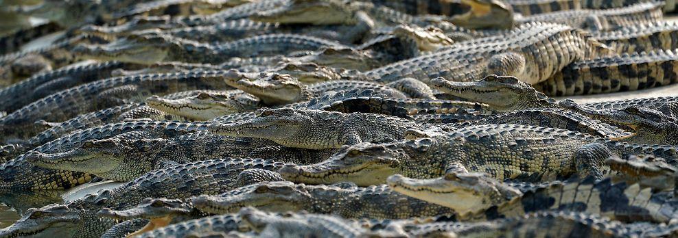 Auch sonst geht es bei den Krokodiltouren vor allem um die Bespaßung der Touristen.