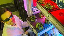 Pflanzenzucht in der Antarktis: Forscher starten Test für Weltraumgemüse