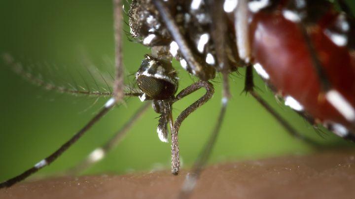 Eine weibliche Tigermücke: Die Sterilisierung der Männchen soll zu Totgeburten führen.