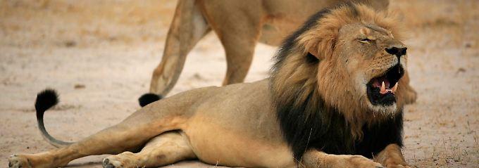 Trophäensafari in Simbabwe: Sohn von Löwe Cecil von Jägern getötet
