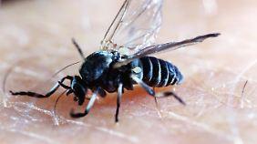 Mit heftigen Folgen: Kriebelmücken beißen immer häufiger schmerzhaft zu