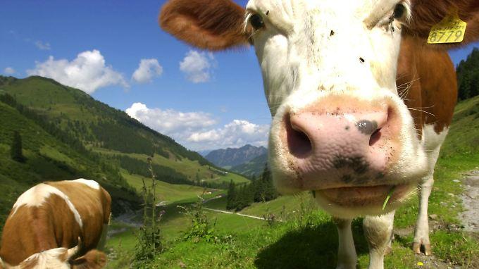 Rinder können sehr effektive Wirkstoffe gegen das HI-Virus produzieren.