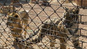 Zoo zwischen den Fronten: Tierschützer retten verwahrloste Löwen und Tiger aus Aleppo