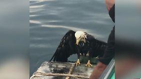Kaum zu glauben, aber wahr: Fischer angeln Adler aus dem Wasser