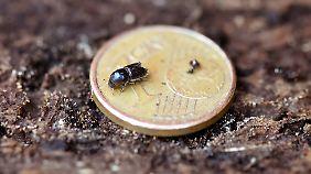 Ein Winzling, der großen Schaden anrichtet: Borkenkäfer, der über eine 1-Cent-Münze krabbelt.