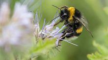 Insektizide töten langfristig: Deutlich weniger Hummeln legen Eier