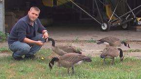 Flugstunden mit dem Pick-up: Jäger wird zum Gänseflüsterer