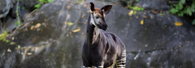 """Ein Okapi im Westerwald: """"Was man von hier aus sehen kann"""""""