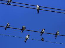 Wenn sie so auf der Leitung sitzen, passiert den Vögeln nichts. Und doch bergen Mittel- und Hochspannungsleitungen große Gefahren für sie.