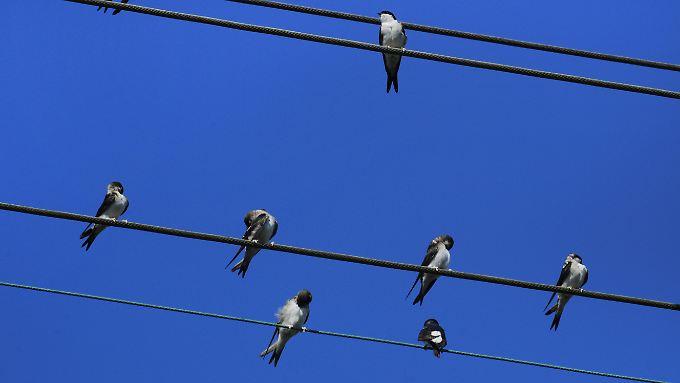 Frage & Antwort, Nr. 500: Sind Stromleitungen für Vögel harmlos? - n ...