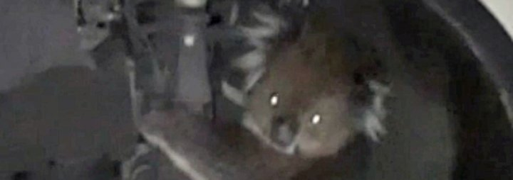 Pelziger Schwarzfahrer: Koala düst kilometerweit im Radkasten mit