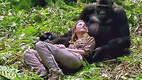 In der Wildnis von Gabun: Tierschützer trifft ausgewilderte Gorillas im Dschungel