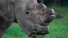 Die letzten drei ihrer Art: Künstliche Reproduktion soll Nashorn retten