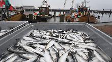 Schmerzlicher Einschnitt: Ostseefischer dürfen weniger Hering fangen