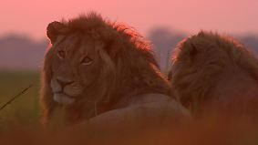 n-tv Dokumentation: Tödliches Afrika - Gruppenjagd