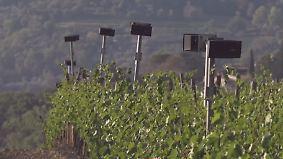 Für einen gesunden Weinberg: Italienischer Winzer beschallt Reben mit Mozart