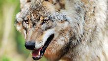 Wölfe sind potenziell gefährliche Wildtiere. Wie ist das bei Hund-Wolf-Mischlingen? Durch das Haushund-Gen könnten sie die Scheu vor dem Menschen verlieren. Wie verhalten sie sich dann?
