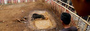 Gewinnt das Wildschwein, wird es nach seiner Genesung erneut in die Arena geschickt.