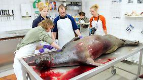 Untersuchung einer toten Kegelrobbe in Stralsund