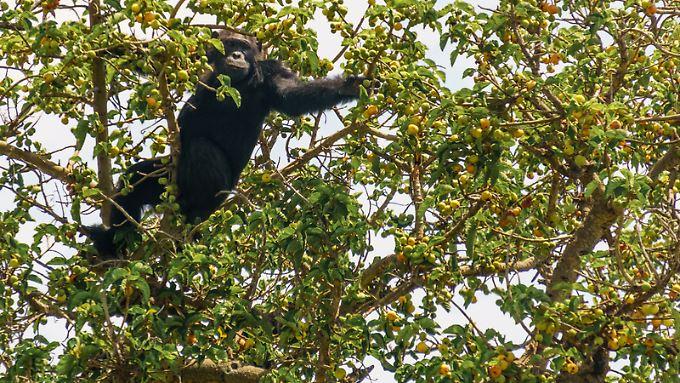 Verlockende Feigen:Ein Schimpanse aus der Kyambura-Schlucht hat sich in einem der einzelnen Bäume in der Savanne niedergelassen und genießt die Früchte.
