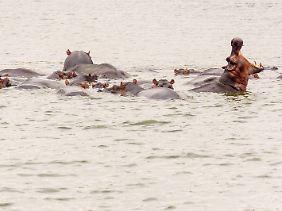 Ein Flusspferd im Kazinga-Kanal zeigt seine Zähne - die Tiere sind bei einer Bootsfahrt auf der Wasserstraße in großer Zahl zu sehen.