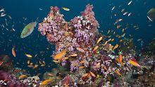Vor allem küstennahe Korallen, die durch den Klimawandel gestresst sind, könnten empfindlich auf Sonnencreme reagieren.