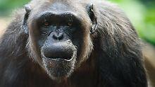 Die Population der Schimpansen geht seit Jahrzehnten zurück, Grund dafür ist der Verlust ihres Lebensraums.