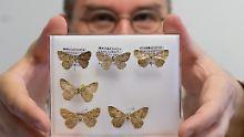 """""""Eine Sternstunde"""": Biologe entdeckt neue Schmetterlinge"""