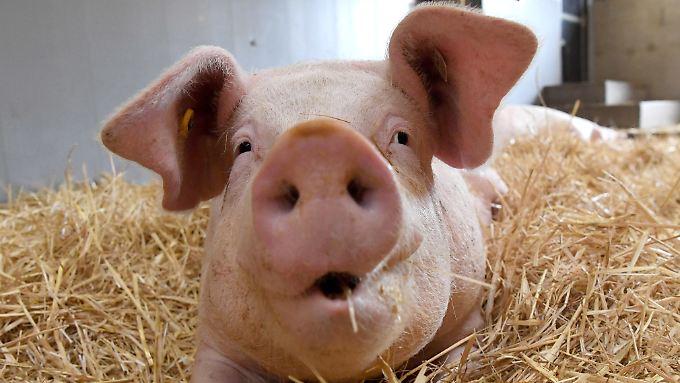 Ein einziges Schwein, das war's. Auf mehr Applaus dürfen die Jamaika-Parteien nicht hoffen.
