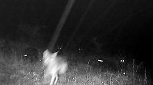 Eine wackelige Nachtaufnahme der Wölfin