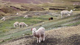 Alpakas kreuzen den Weg.