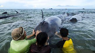 Vier Tiere sterben: Pottwale geraten vor Indonesiens Küste auf Grund