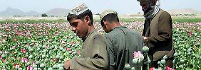 Milliardengeschäft der Taliban: Afghanistan verdoppelt Drogenernte
