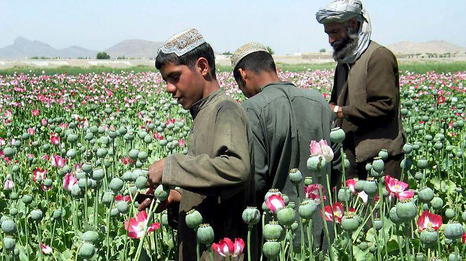 Afghanische Bauern arbeiten in der Nähe von Kandahar auf Feldern, auf denen Schlafmohn angebaut wird.