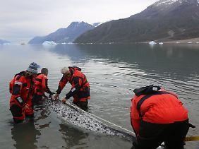 Forscher vermessen die Länge eines erwachsenen Narwals.