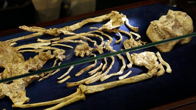 """Kochenmann aus ferner Vergangenheit: """"Little Foot"""" lebte vor fast vier Millionen Jahren."""
