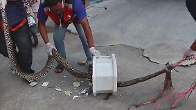 Python in der Kloschüssel: Schlangen verbreiten Angst und Schrecken in Bangkok