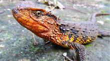 Bis 2016 unbekannt: die vietnamesische Krokodilschwanzechse.
