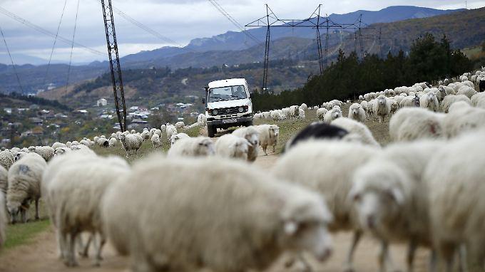 Schafe lassen sich in Georgien durch nichts aus der Ruhe bringen - auch nicht durch vorbeifahrende Autos.