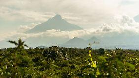 Das Gebiet der Virunga-Vulkane ist eine von nur zwei Regionen, in denen Berggorillas leben.