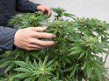 Der Börsen-Tag: Cannabis-Geschäft boomt: Mega-Fusion in Kanada