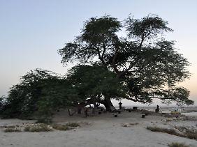 Besucher am Baum des Lebens: Seit etwa 400Jahren gedeiht das Gewächs in der Wüste von Bahrain und ist mittlerweile eine Touristenattraktion.