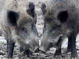 Angst vor Schweinepest: Bauern fordern Abschuss von Wildschweinen