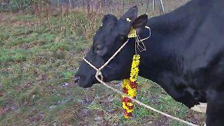 Kaum zu glauben, aber wahr: Bremer Kuh entscheidet über Tempelbau
